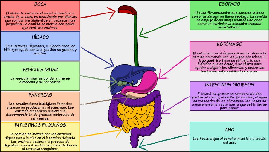 Actividad Del Diagrama Del Sistema Digestivo