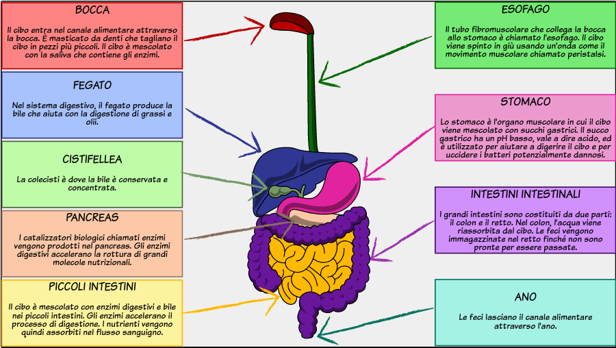 The Digestive System - The Structure of the Digestive System