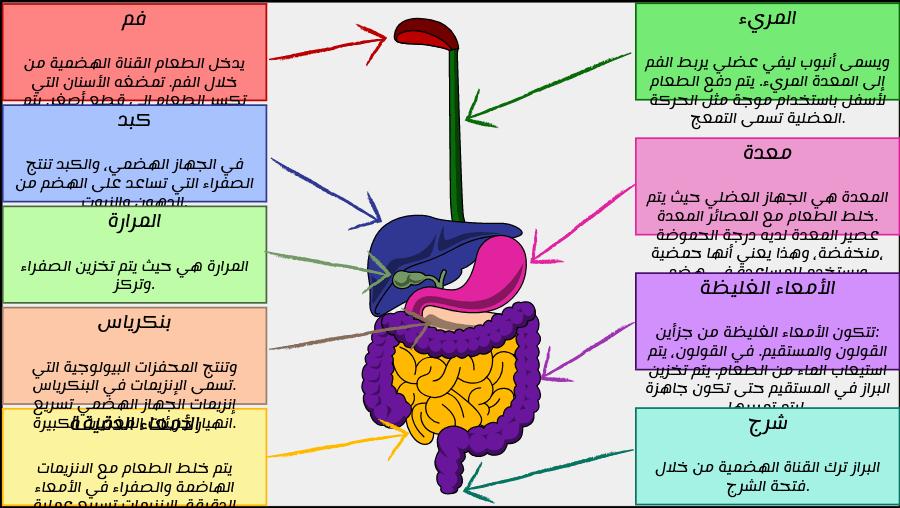 مخطط الجهاز الهضمي أنشطة الجهاز الهضمي