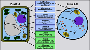 Basic Cells - Label a Plant and Animal Cell