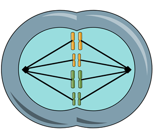 Cell Division - Model of Mitosis Phases